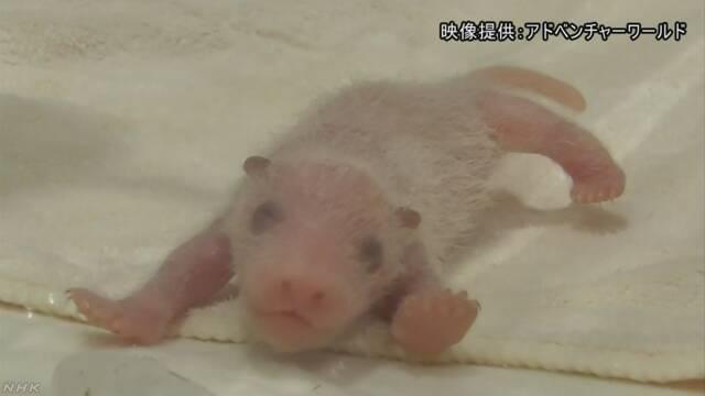 和歌山県の動物園 パンダの赤ちゃんが生まれて1週間