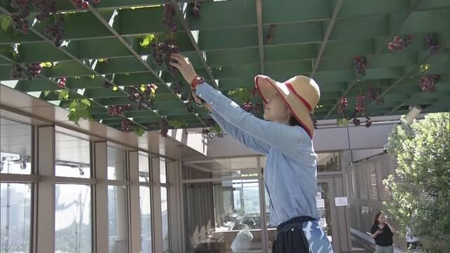 東京のビルの屋上で「ぶどう」ができる