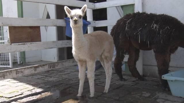 滋賀県 アルパカの赤ちゃんが人気