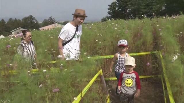 青森市 スキー場に30万本のコスモスの花が咲く