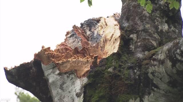 台風で折れた白神山地の「マザーツリー」をそのまま残す