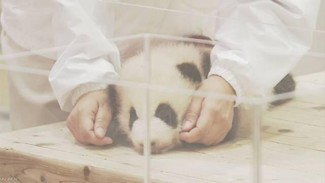 和歌山県の動物園でパンダの赤ちゃんの体の重さを調べる