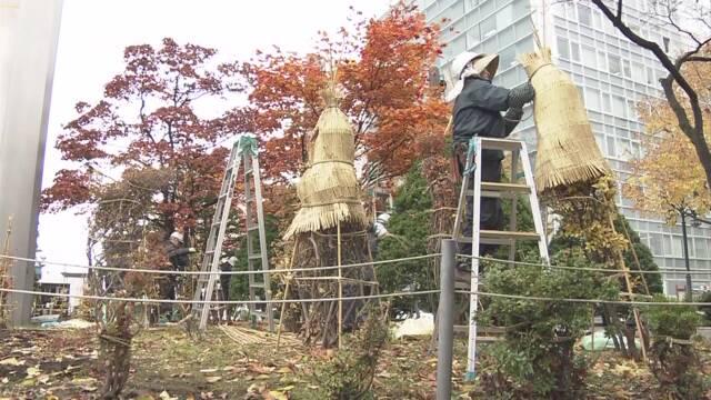 北海道 大通公園の木にわらを巻いて雪と寒さから守る
