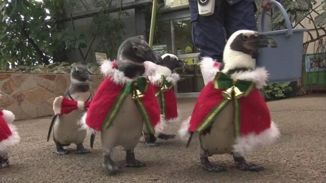 ペンギンがサンタクロースの衣装でお散歩 松江