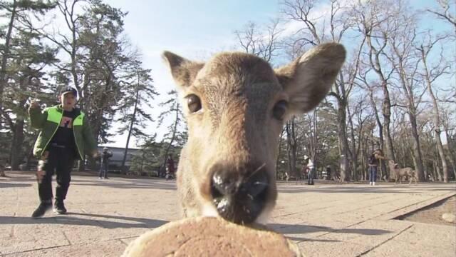 奈良公園 鹿が原因でけがをした人が増えている