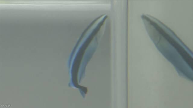 魚は鏡に映った自分がわかる 大阪市立大学などが調べる