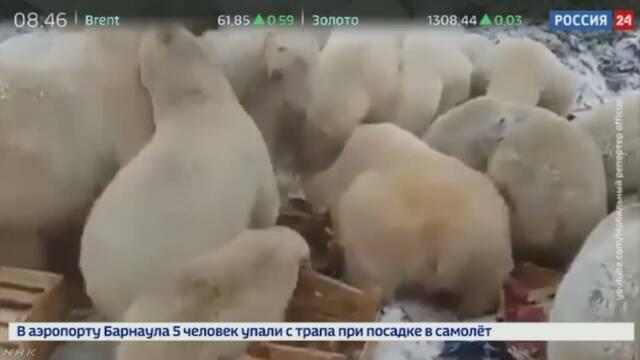 ロシアの島に多数のホッキョクグマ 地元政府が非常事態宣言