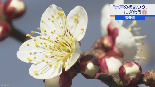 茨城県水戸市 たくさんの人が「偕楽園」の梅を楽しむ