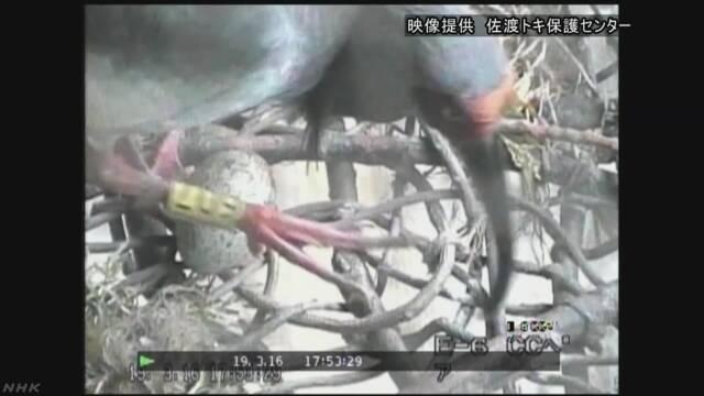 中国から去年もらったトキから卵が生まれた