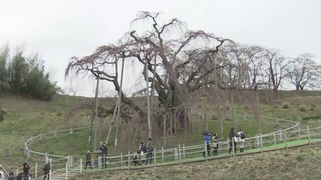樹齢1000年の「滝桜」開花宣言 福島 三春町