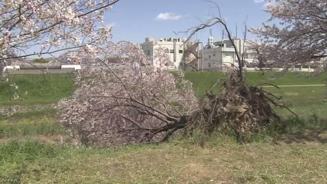 台風で横倒しの桜に満開の花 けなげでたくましい姿が話題に