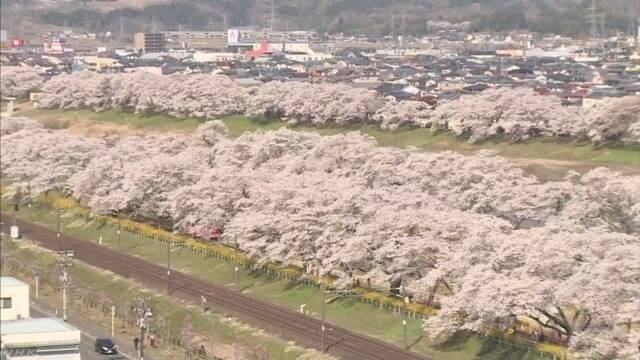 「一目千本桜」小中学生が外国人観光客おもてなし 宮城 柴田町